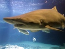 Studying mini-antibodies in shark, camel blood might lead to new treatments