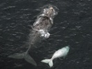 Whispers help southern right whales protect calves