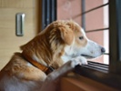 FDA approves generic version of canine anti-anxiety med
