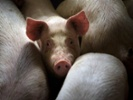 CDC documents human influenza infections linked to swine exposure.