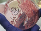 Animals are integral to quest for effective antibiotics