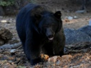 Scientists prod sleeping bears for clues on diabetes, heart disease