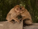 Brain activity syncs as one monkey watches another's actions