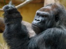 Zoos work to understand, improve heart health in great apes