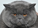 Research on feline diabetes might help cats, people
