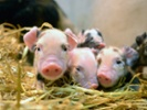 Pressure is on for African swine fever virus vaccine