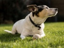Dogs in clinical trial get experimental cancer vaccine