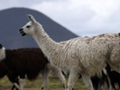 Protein derived from llama antibodies protects mice against influenza A, B