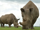 2 Northern white rhino embryos to be implanted in surrogates
