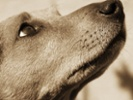 Skin-derived stem cells might slow canine cognitive dementia