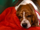 Dogs' brain waves while sleeping are similar to people's