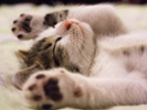 Feline genome study may yield clues to common, rare diseases