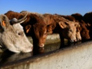 DNA editing could make livestock more disease-resistant