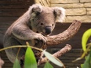 Researchers learn more about viral DNA by studying koala retrovirus
