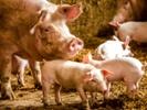 Carbapenem-resistant bacteria at pig farm concerns researchers.