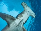 Sharks might have suffered their own pandemic