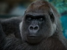 UK study seeks cause of heart disease in captive apes.