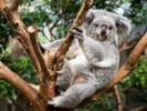 Gut microbe helps koalas survive antibiotic treatment