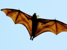 Scientists study bat-borne coronaviruses.
