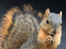 Study of squirrels could lead to treatment for stroke