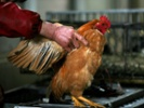 Study: Poultry sale, slaughter practices in China may spread avian influenza