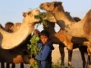 Boy feeding camels.