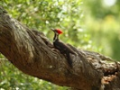 Tau protein accumulations might protect woodpeckers' brains