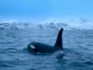 Decades worth of blood test data could help scientists save orcas