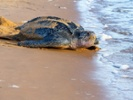 Treatment for drug overdoses cures turtles exposed to toxic algae
