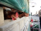 China reopening live poultry markets