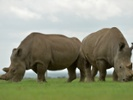 Researchers validate IVF protocol that could save nearly extinct rhinos