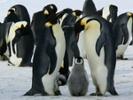 Satellites help find hidden emperor penguin colonies