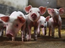 Scientists say novel coronavirus could affect humans, domesticated animals