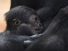 Efforts to save great apes include race to develop Ebola vaccine