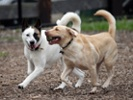 Immunotherapy extends lifespan of dogs with osteosarcoma in small study