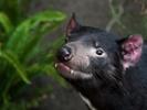 Human cancer drugs may help endangered Tasmanian devils