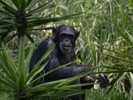 Study of wild chimpanzee diet might lead to treatments for people