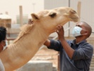 Camels are key to stopping spread of MERS, scientists say