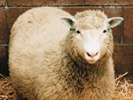 Study finds cloned sheep in perfect health.