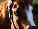 Study of equine bacterium might lead to vaccine for strep throat
