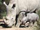 Researchers discover way to improve endangered rhino fertility