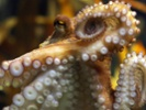 Biologists raising squid, octopus for research consider animals' welfare