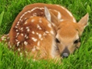 Oral vaccine that delays CWD symptoms in the works