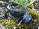 Scientists hope to help humans heal like salamanders