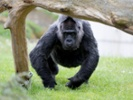 Researchers close in on cause of heart disease in captive primates
