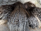 Porcupine quills are model for experimental surgical closures