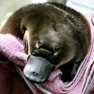 Could platypus milk stop superbugs?