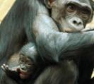 Researchers ID novel malaria species in wild bonobos
