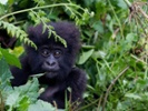 Limits on vaccine tests in nonhuman primates threaten great apes' survival