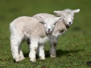 Why Huntington's disease researchers are studying sheep